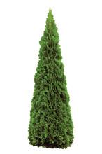 Thuja Occidentalis 'Smaragd' American Arborvitae, Isolated