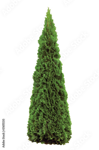 Fotografiet  Thuja Occidentalis 'Smaragd' American Arborvitae, Isolated