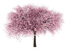 Sour Cherry Tree Isolated On W...