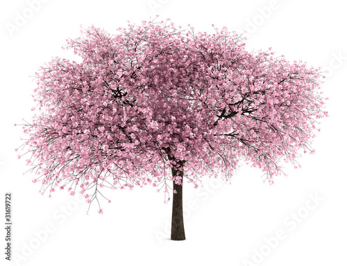 Leinwand Poster sour cherry tree isolated on white background