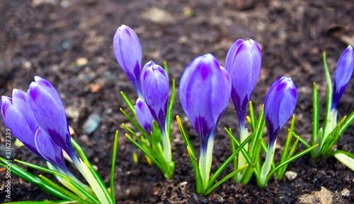 Foto op Plexiglas Krokussen Group of spring flower