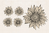 Sunflower.Drawing.Isolated objects