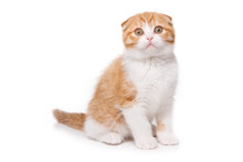 Scottish Fold Kitten On White ...