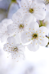 Fototapeta Do sypialni Blossom
