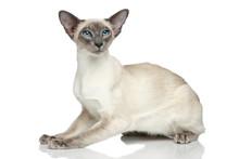 Oriental Blue-point Siamese Cat Portrait