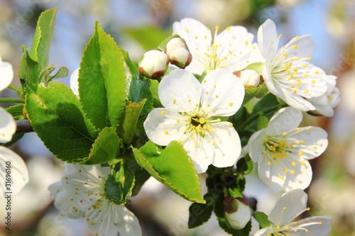 Zdjęcie XXL kwiat jabłoni