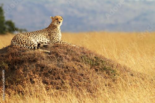 Staande foto Afrika Cheetah on the Masai Mara in Kenya