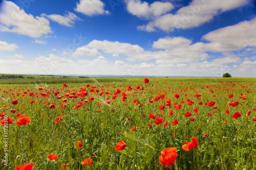 Fototapeta poppy flowers against the blue sky / summer meadow obraz na płótnie