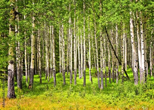 Tuinposter Berkbosje Aspen trees in Banff National park