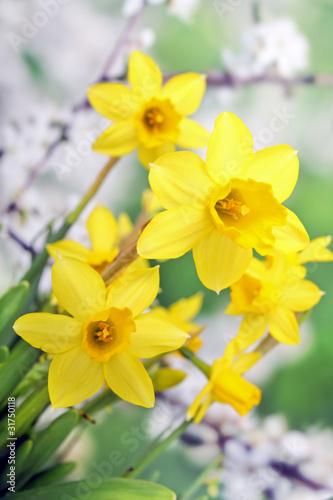 Papiers peints Narcisse Osterglocken