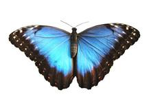 Beautiful Blue Butterfly, Morp...