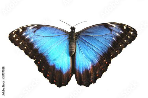 Tablou Canvas Beautiful Blue butterfly, morpho peleides.