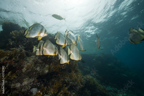 Tuinposter Koraalriffen Spadefish and coral reef in the Red Sea.