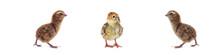 Chickens Of Quail