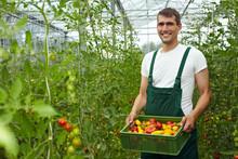 Tomatenzucht Im Gewächshaus