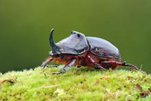 European Rhinoceros Beetle In ...