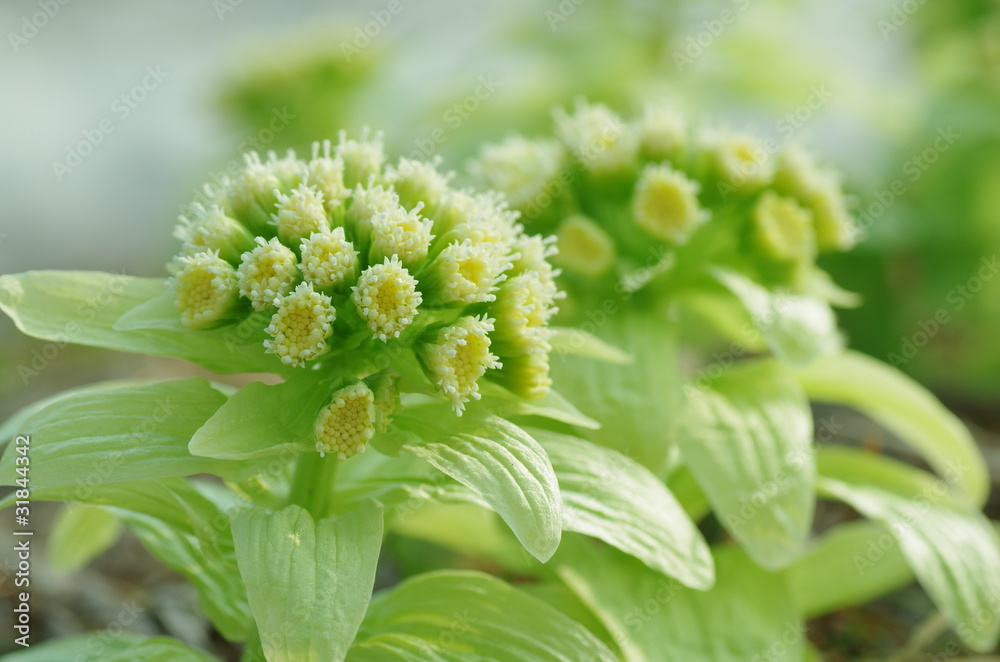 Fotografie, Obraz  蕗の薹の花