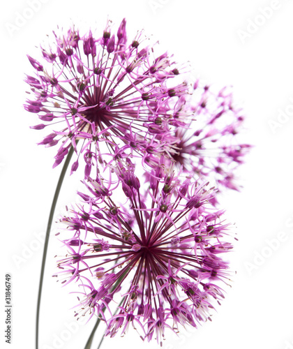 Photo allium