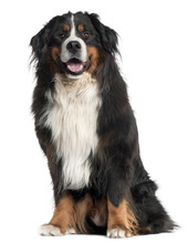Bernese Mountain Dog, 6 Years ...