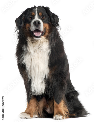 Bernese Mountain Dog, 6 years old, Canvas Print