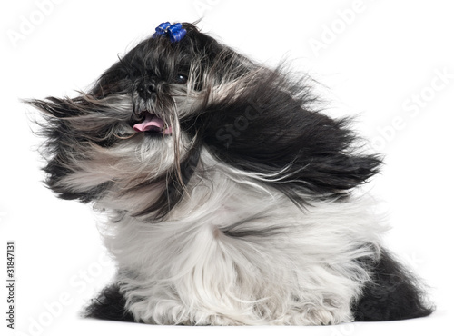 Valokuva  Shih Tzu with hair in the wind, 4 years old,