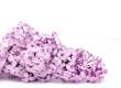 fresh purple lilac