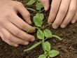 hands loosen spinach seedlings