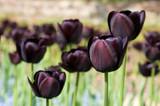 Group of black (dark purple) tulips - forground focus