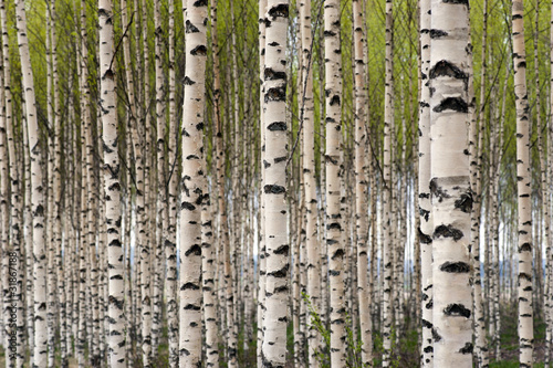 Deurstickers Berkbosje Birch trees