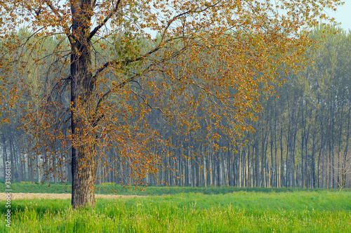 pioppo alberi 1533 © peggy