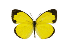 Butterfly, Small Grass-yellow, Eurema Smilax, Dry-season Form, W