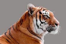 Portrait De Profil D'un Tigre ...