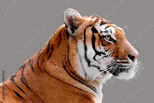 Photo sur Toile Tigre Portrait de profil d'un tigre détouré sur fond gris