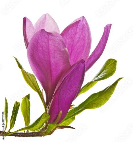Foto op Plexiglas Magnolia magnolia flower and bud