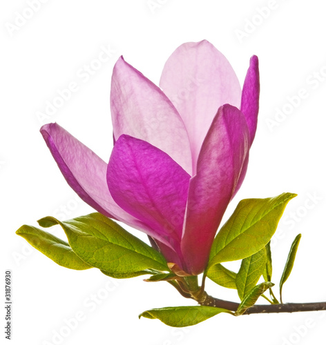 Foto op Plexiglas Magnolia magnolia flower on white