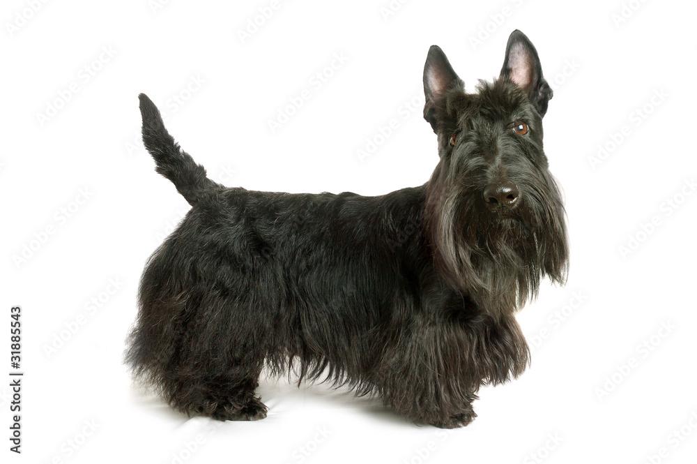 Fototapety, obrazy: Scottish terrier