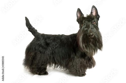Obraz Scottish terrier - fototapety do salonu