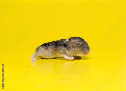 Fotografie, Obraz  little hamster