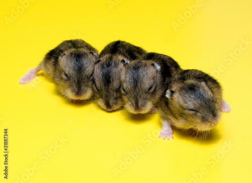 Fotografie, Obraz  Hamster Litter