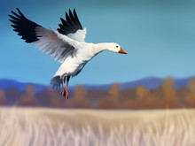 Digital Painting Of A White Snow Goose In Flight