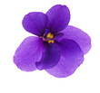 single simple isolated violet