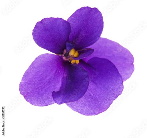 Fotografija single simple isolated violet
