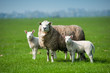 canvas print picture - Mother sheep and her lambs in spring
