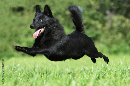 Chien Volant chien volant - dog flying - black dog jumping - buy this stock photo