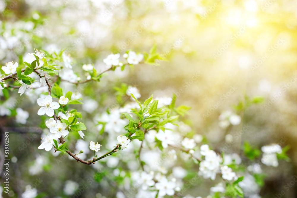 Fototapety, obrazy: Wiosenne kwiaty drzewa owocowego w promieniach słońca