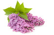 Blooming flower of purple lilac,isolated