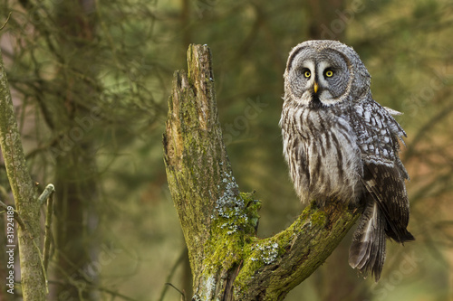 The Great Grey Owl or Lapland Owl, Strix nebulosa Wallpaper Mural