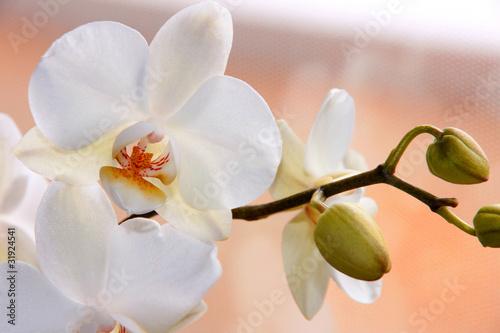 Foto auf AluDibond Orchideen Weiße Orchidee (Phalaenopsis) mit Knospen