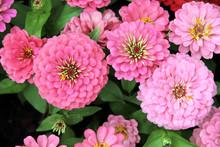 Zinnia Flower Blossom