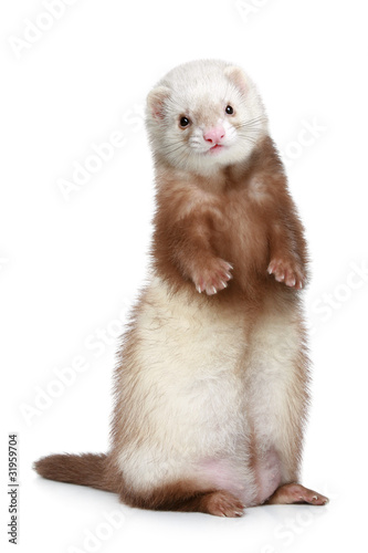 Fotografering  Brown Ferret standing on a white background